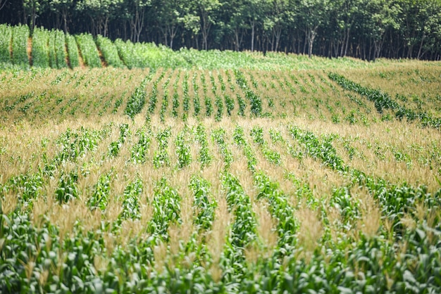 Grünes maisfeld in einem garten