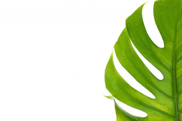 Grünes monsterblatt auf weißem tisch