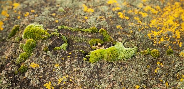 Grünes moos auf dem stein. grüner schimmel auf einem grauen alten felsen. natürliche hintergrundbeschaffenheit.