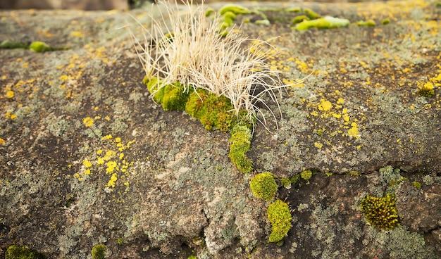 Grünes moos auf dem stein. grüner schimmel auf einem grauen alten felsen.