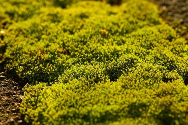 Grünes moos auf dem stein im flachen fokus