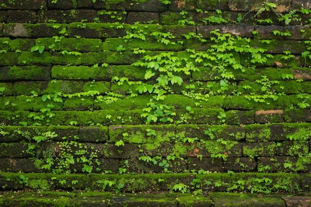 Grünes moos, das auf alter backsteinmauer, immergrünes grünmoos am ursprünglichen wald wächst, lokalisierte nationalpark inthanon, chiangmai, thailand