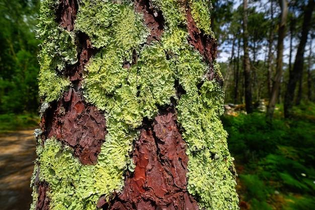 Grünes moos im kieferstammbaum in galizien spanien