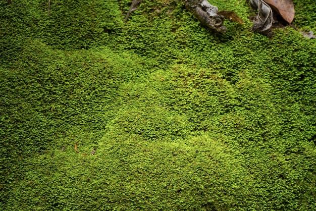 Grünes moos in der natur für grünen hintergrund