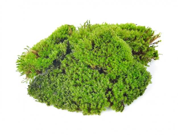 Grünes moos isoliert