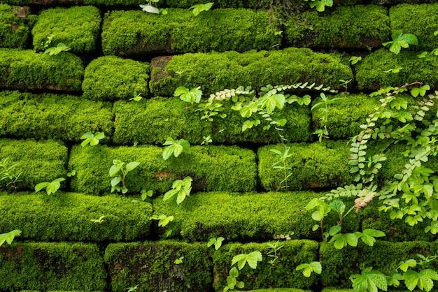 Grünes moos wächst auf alten mauer, immergrüne grüne moos im urwald befindet inthanon nationalpark, chiang mai, thailand