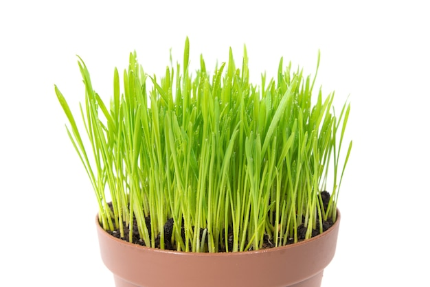 Grünes nasses gras mit wassertropfen im blumentopf isoliert auf weißem hintergrund