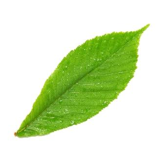 Grünes nasses kastanienblatt isoliert