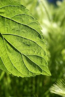 Grünes naturmakro des transparenzmaulbeerblattes