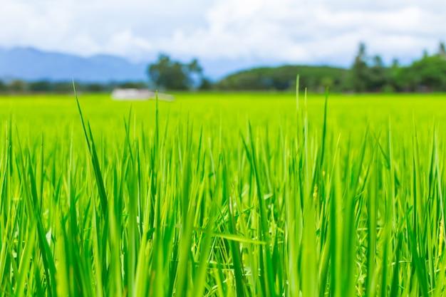 Grünes neues reisfeld in der landschaftslandschaftsansicht in thailand-landwirtschaft