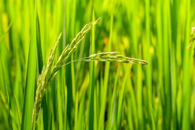 Grünes ohr des reises auf dem paddyreisgebiet