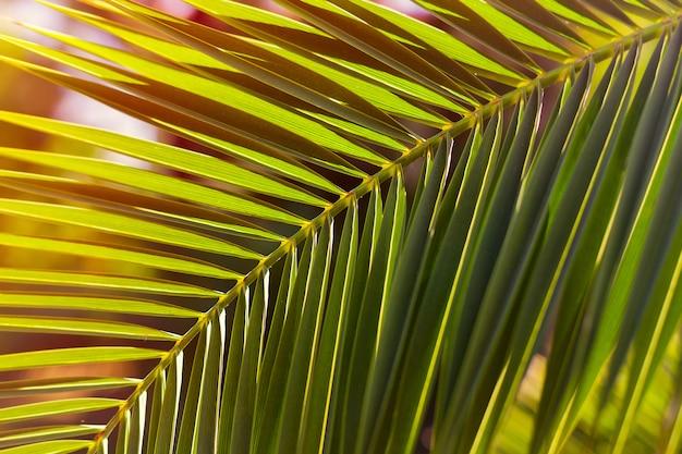 Grünes palmblatt auf einem sonnenuntergangsonnenlicht. hintergrund.