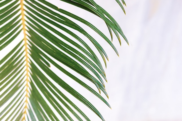 Grünes palmblatt der nahaufnahme auf unscharfem weißem marmorhintergrund.
