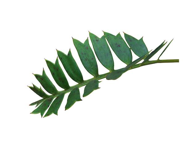 Grünes palmblatt lokalisiert auf weiß