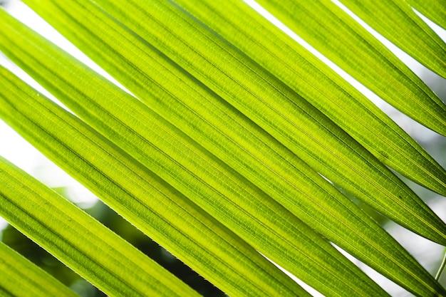 Grünes rattan verlässt in der natur