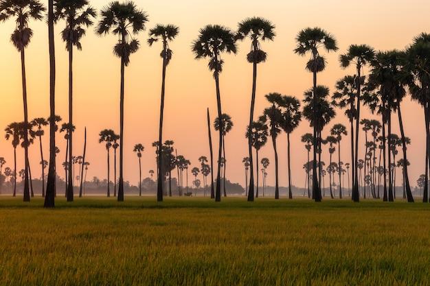 Grünes reisfeld am morgen mit palmen während der sonnenaufgangszeit