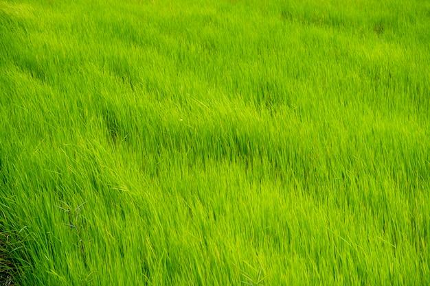 Grünes reisfeld in thailand