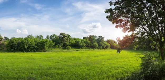 Grünes reisfeld mit blauem himmel
