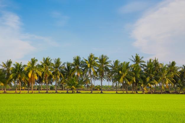 Grünes reisfeld mit kokosnussbaum auf blauem himmel