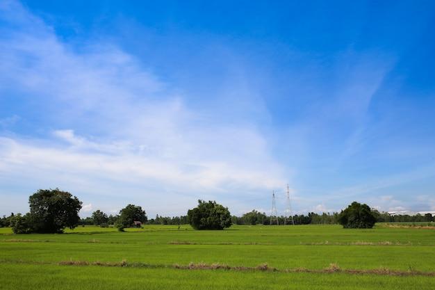 Grünes reisfeld und blauer himmel