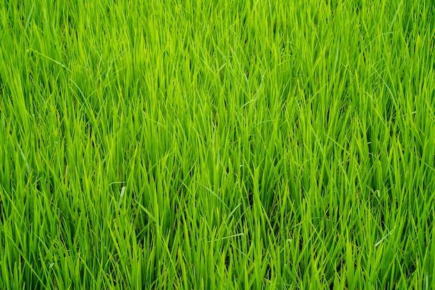 Grünes reisfeld