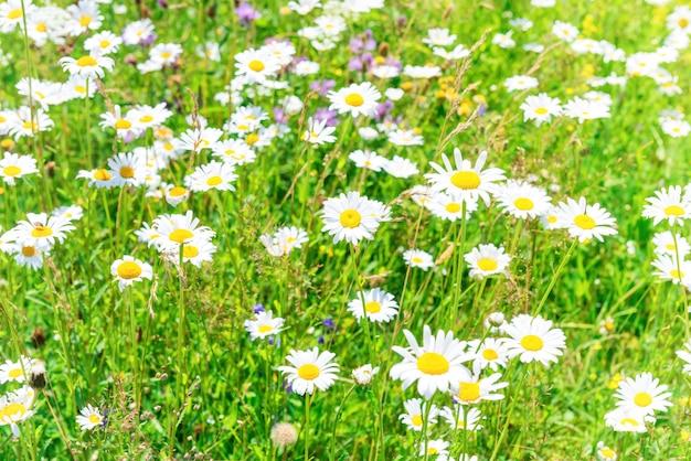 Grünes sommerfeld mit weißen blumen gänseblümchen