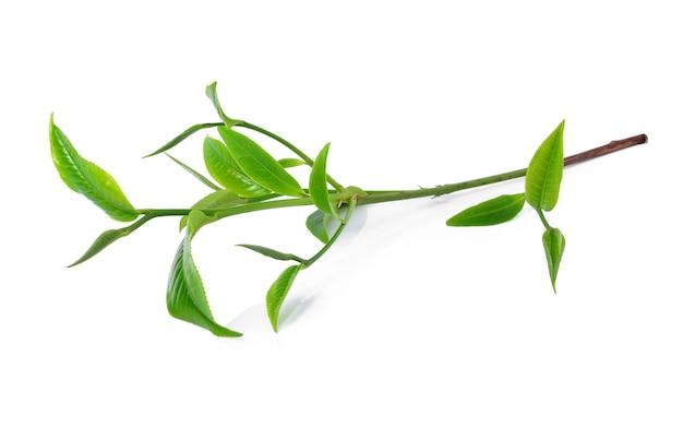 Grünes teeblatt getrennt auf weißem hintergrund