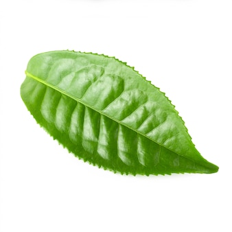 Grünes teeblatt getrennt über weißem hintergrund
