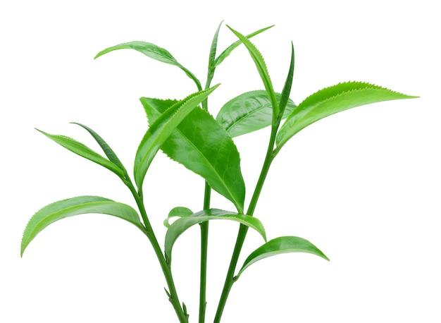 Grünes teeblatt lokalisiert auf weißem hintergrund