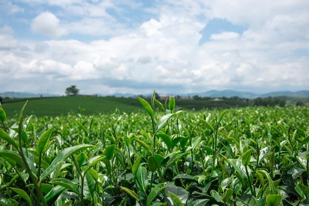 Grünes teeblatt mit himmelhintergrund herum mit feld des grünen tees