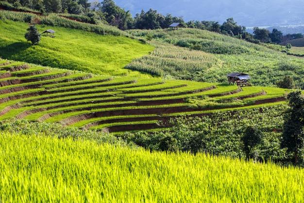 Grünes terassenförmig angelegtes reis-feld in pa pong pieng, mae chaem, chiang mai, thailand