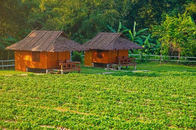 Grünes terassenförmig angelegtes reisfeld in mae klang luang