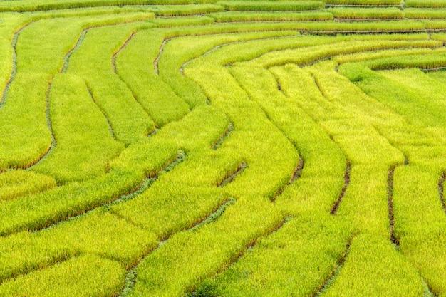 Grünes terassenförmig angelegtes reisfeld in mae la noi, maehongson-provinz, thailand