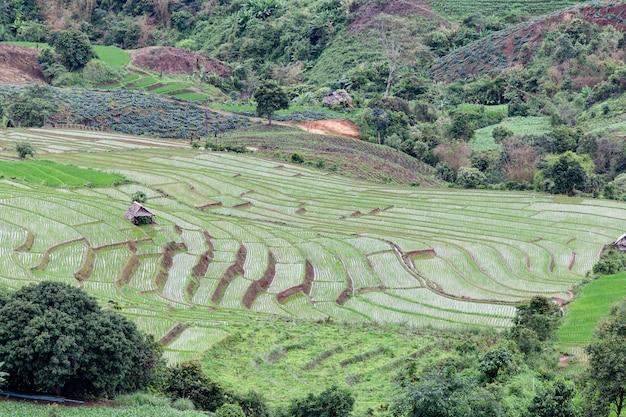 Grünes terassenförmig angelegtes reisfeld in pa pong pieng