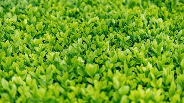 Grünes und üppiges gras, nahaufnahme