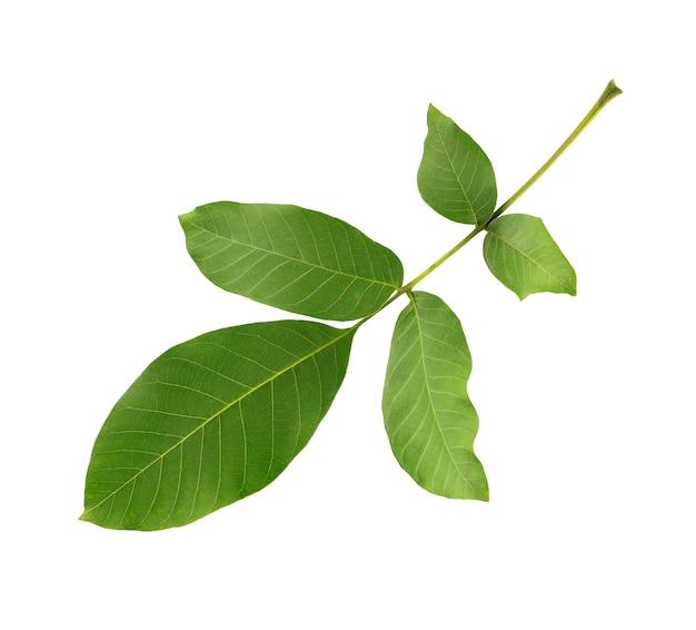 Grünes walnussblatt lokalisiert auf weißem hintergrund. walnusszweig.