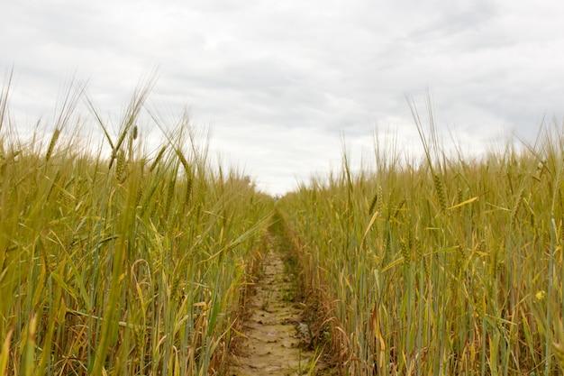 Grünes weizenfeld und sonniger tag. feld mit ohren