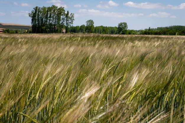 Grünes weizenfeld und sonniger tag, mit unfocused bäumen und blauem himmel am hintergrund
