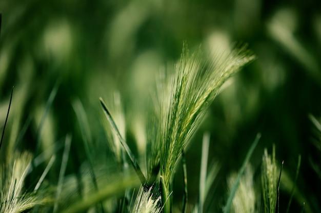 Grünes weizenfeld und sonniger tageshintergrund