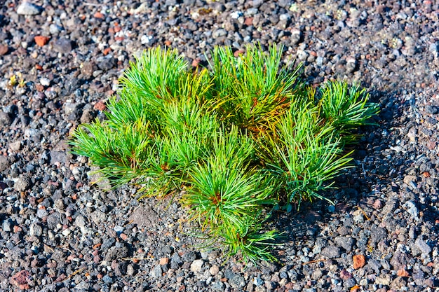 Grünes zedernholz auf dem vulkan vilyuchinsky, kamtschatka, russland