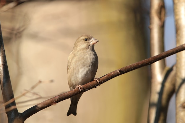 Grünfink (carduelis chloris) an einem zweig