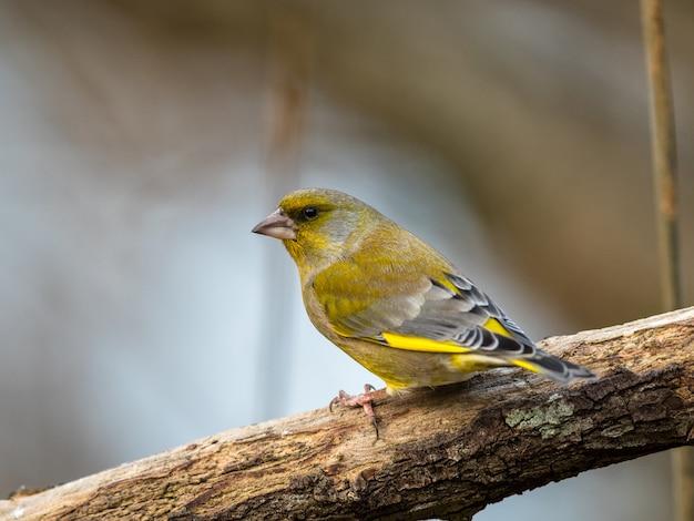 Grünfink chloris chloris, männlicher vogel, der auf einem zweig sitzt