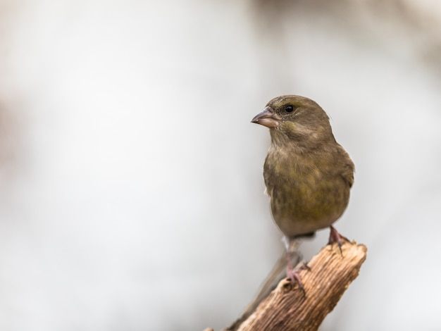 Grünfink chloris chloris, vogel sitzt auf einem toten ast