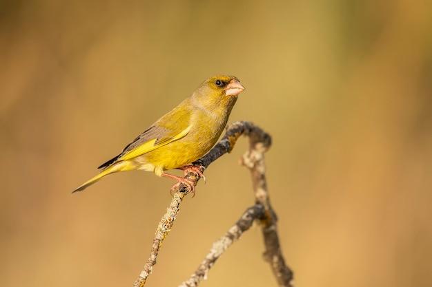Grünfink thront auf einem ast