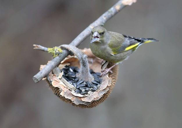 Grünfinkvogel in der natur