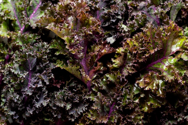 Grünkohl hinterlässt frische grüne lockige lebensmitteloberfläche