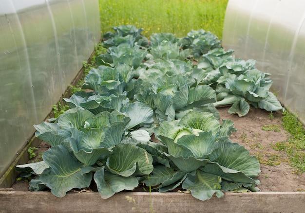 Grünkohlpflanzenfeld im freien im sommerlandwirtschaftsgemüse.
