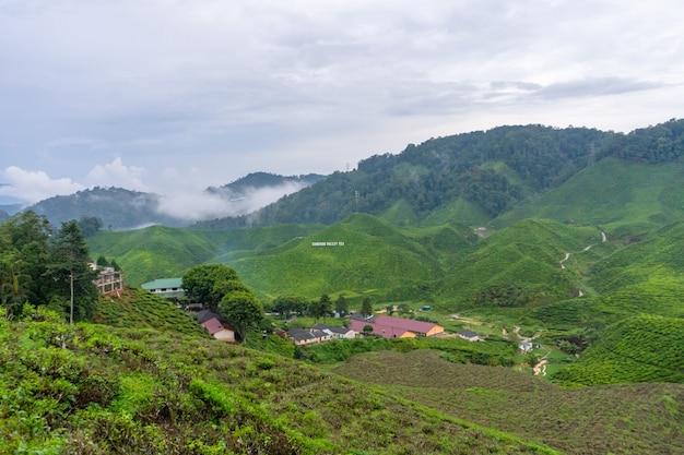 Grüntee-plantagen in den hügeln im hochland. der beste tee wächst in feuchten, nebligen klimazonen hoch in den bergen.