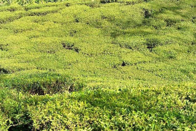 Grünteebüsche auf plantage in darjeeling, indien