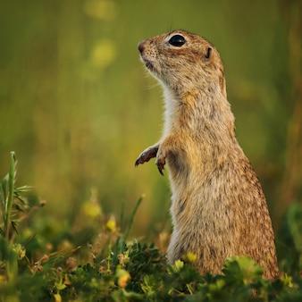 Grundeichhörnchen, das im gras steht